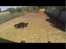 Тренировка пастушьей собаки - Бернский Зенненхунд - Ареал Рось Уникум Лайт (Арда) - Индиго Дог.