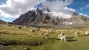 Alpacas around Ausangate, Peru
