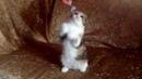 Котенок скоттиш фолд боксирует мышь