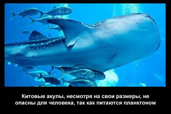 валтея - Интересные факты о акулах / Хищники морей.(Видео. Фото) JORp6cyjN-Q