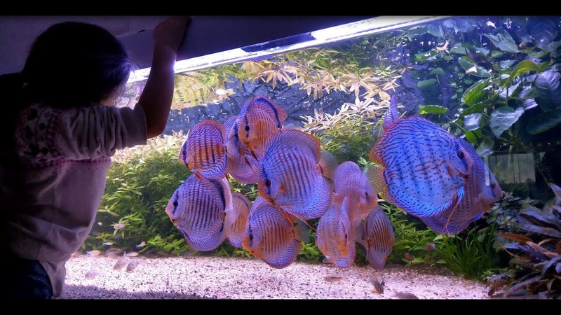 Teach them young. Amazing Discus Tank Video by Fred Galizzi