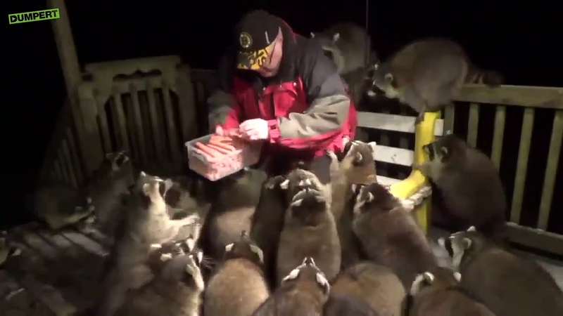 Мужчина кормит енотов сосисками
