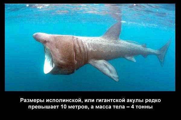 валтея - Интересные факты о акулах / Хищники морей.(Видео. Фото) NlayReb3SMw